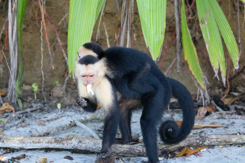 Capuchin Monkey in Costa Rica at the Beach