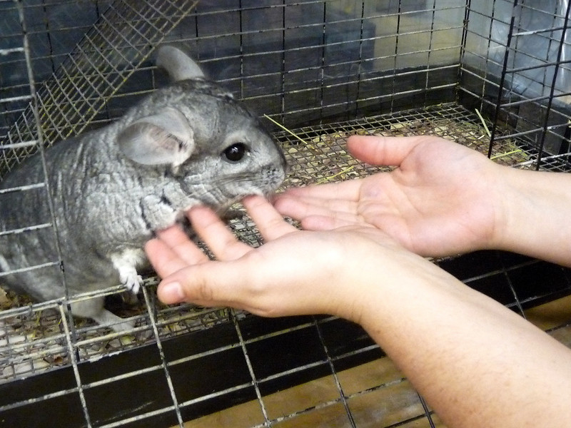 our new chinchillas are friendly.jpg