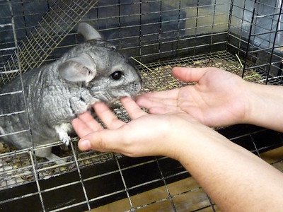We have new chinchillas in the Children's Dept., Nov. 2010