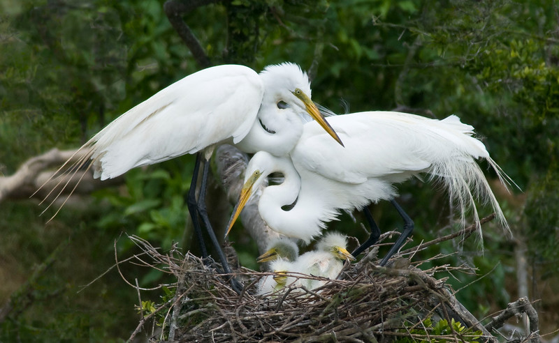 Egret mom and kids.jpg