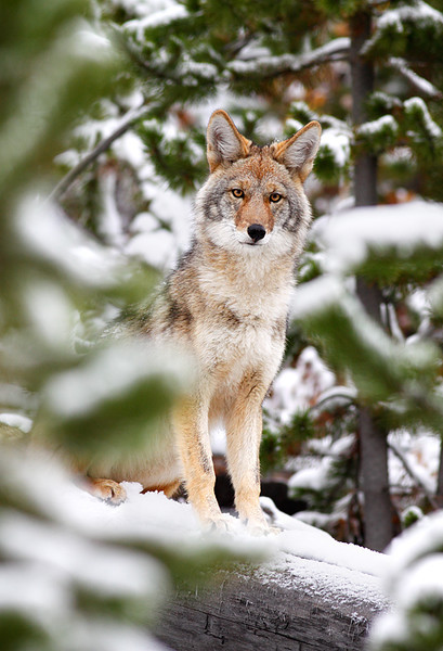 Coyote - Yellowstone National Park