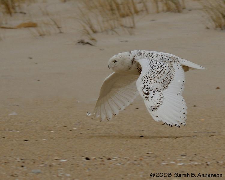 Low-flying snowy owl Assateague Island National Seashore, Maryland December 2008