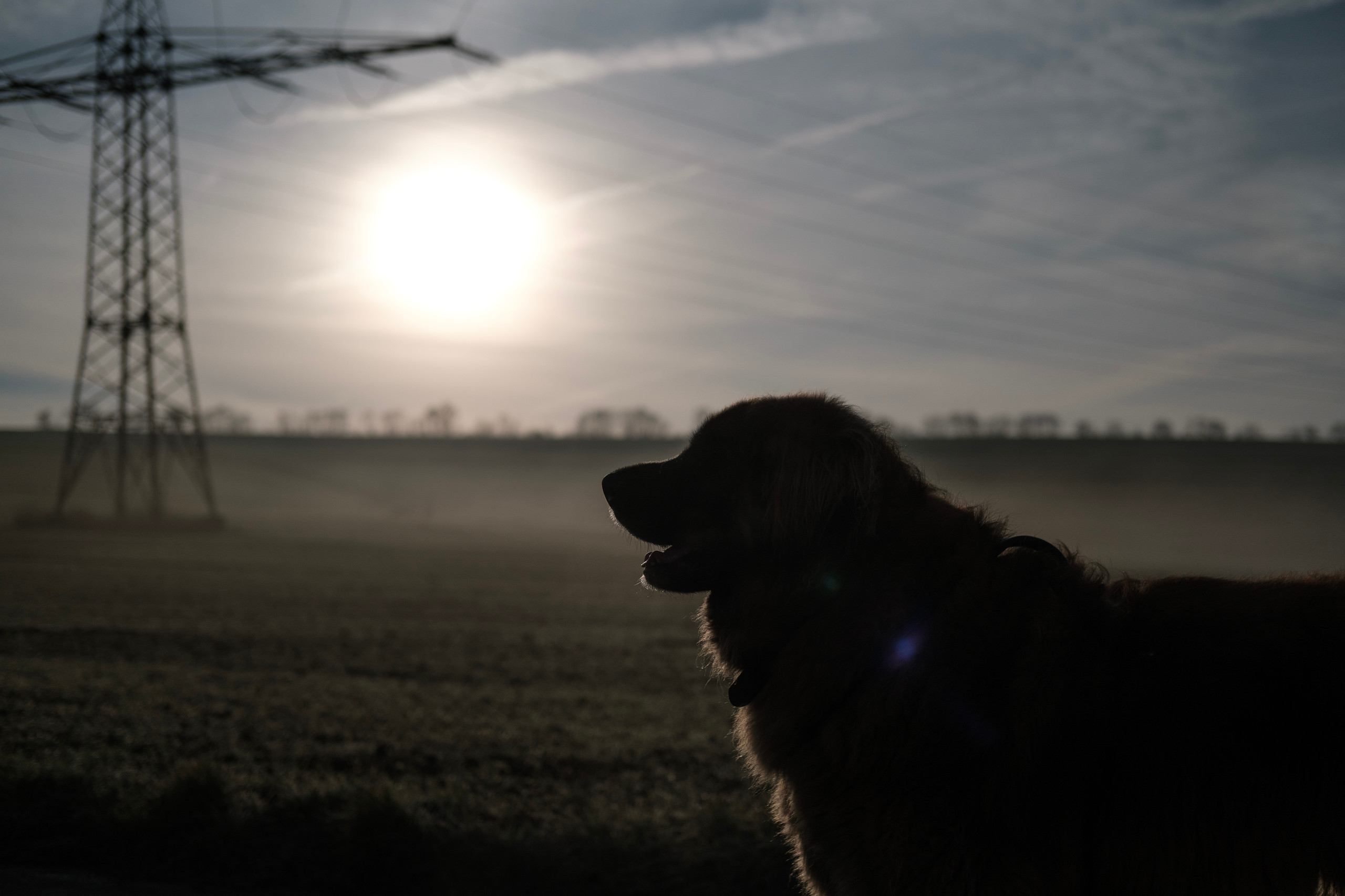 Backlight portrait of a large dog in front of a foggy field