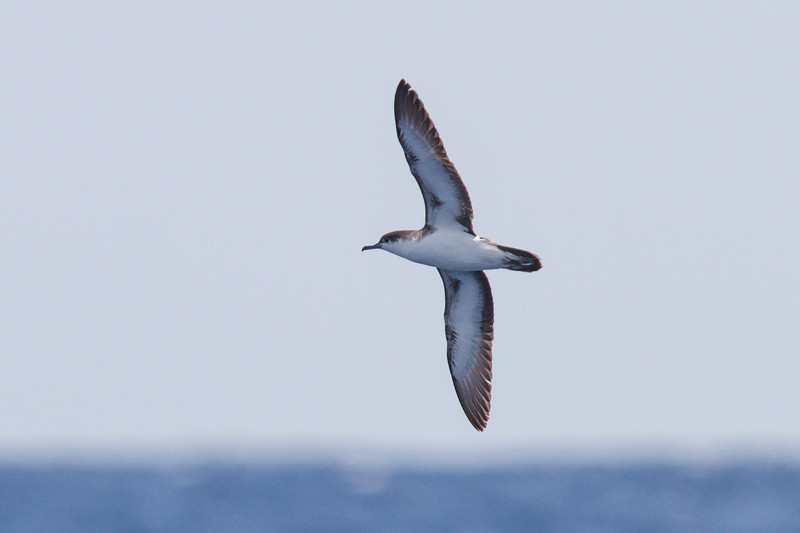 Audubon's Shearwater at Gulf Stream pelagic off Hatteras, NC (06-02-2012) 002-109.jpg