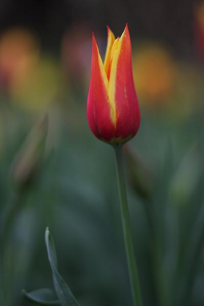 Tulips-2010 12.JPG
