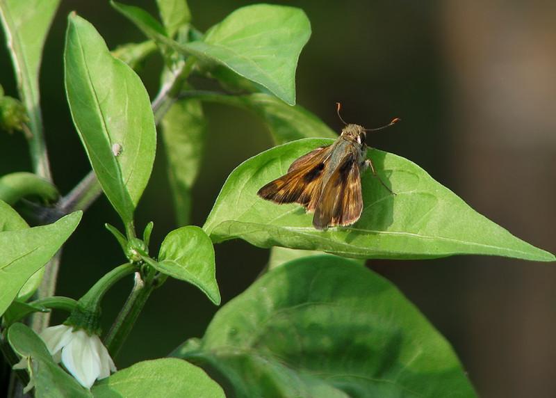 skipper_butterfly_9643.jpg