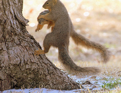 Battle of the sexes, squirrel version