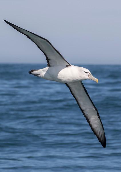 Albatross Mollymawk Petrels