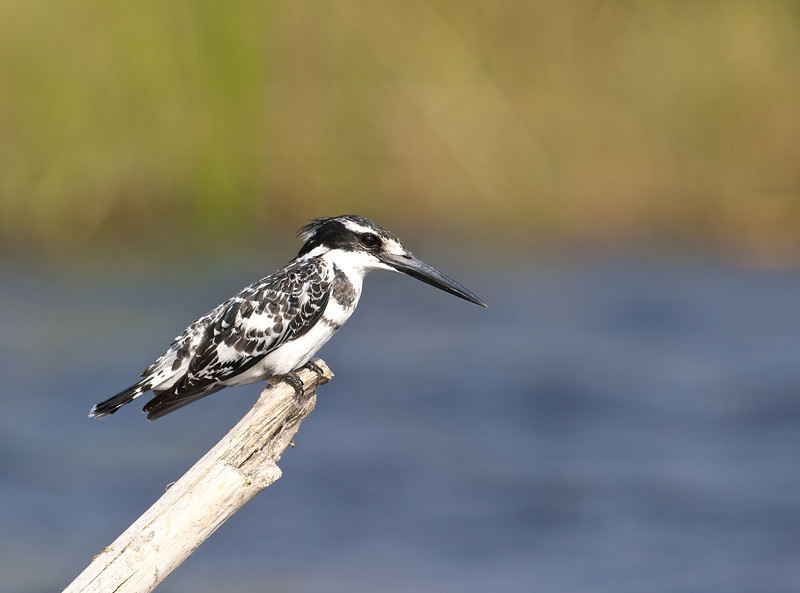 Pied kingfisher, Selinda Reserve, Botswana