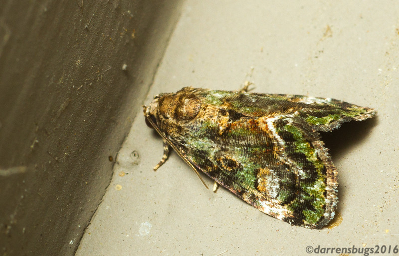 Small Mossy Deltote (Noctuidae: Deltote musta) from Iowa.