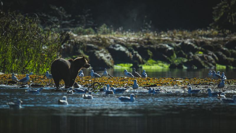 Brown Bear with Gulls at Khutze Estuary.jpg