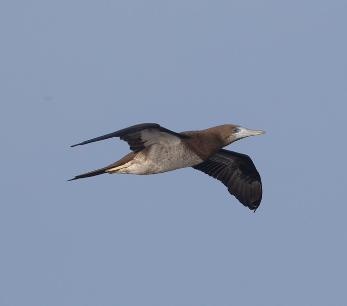 Brown Booby San Diego Waters 2018 01 01-6.CR2