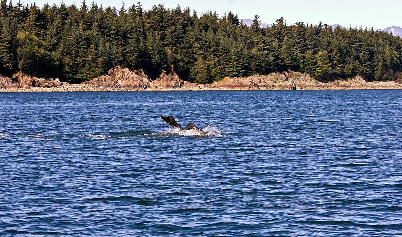 Humpback Dive 6 of 6