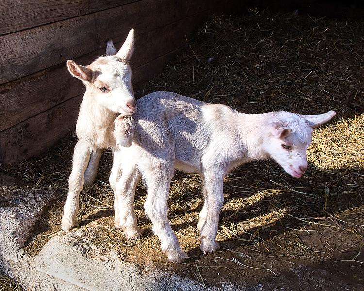 CP_goats_white_twins_032521_RW.jpg