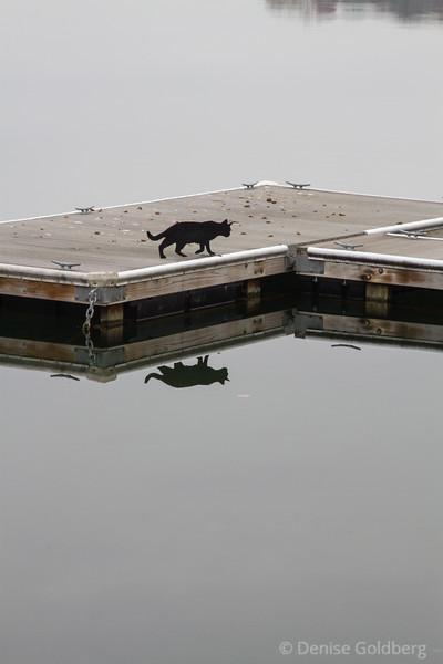 black cat walking, reflected