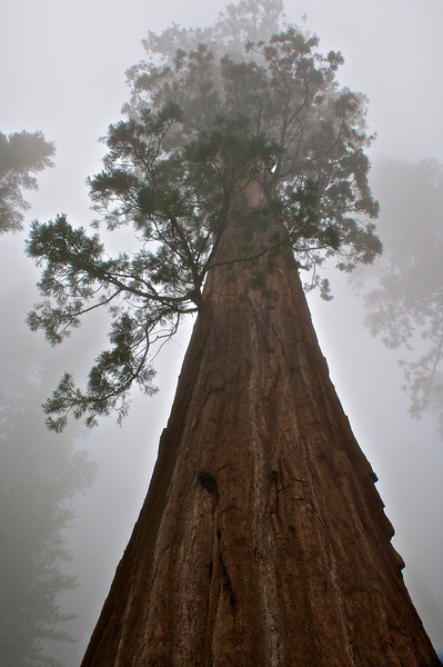 Gen. Sherman in the Fog, Sequoia National Park, California
