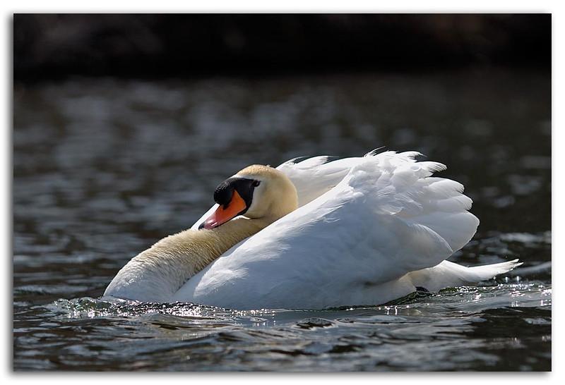 Swan (79914848).jpg