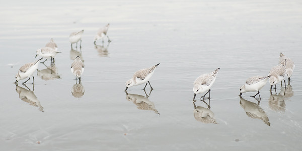 Sandpipers at Ocean Beach
