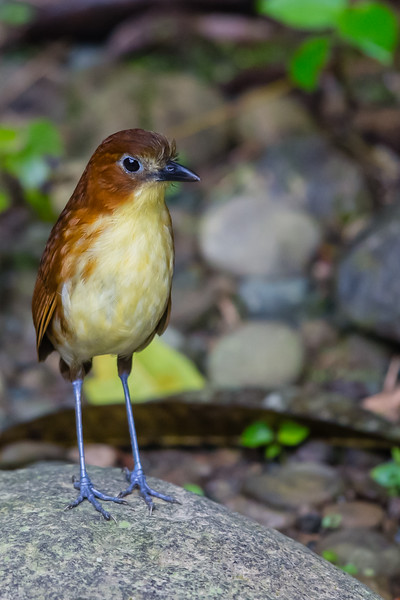 Yellow-breasted Antpitta - Angel Paz de las Aves, Nr. Mindo, Ecuador