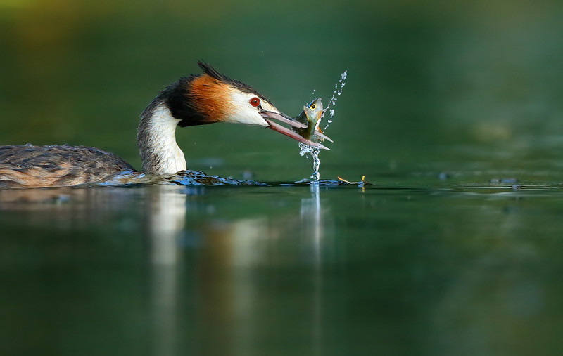 Great-crested Grebe 15.jpg