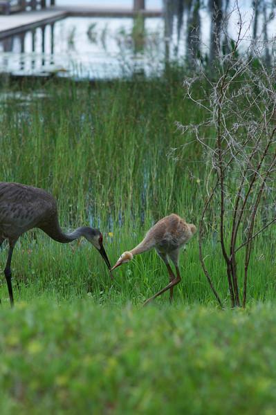 Sandhill Crane Baby 6-8-10