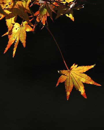 Japanese Maples (楓)