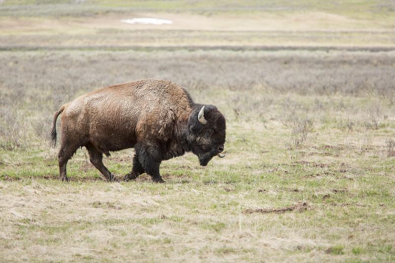 Buffalo licking the wind