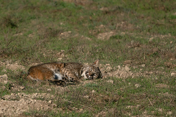 Bobcats - Please click on a photo to enlarge the image.