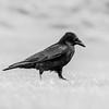 A monochrome raven
