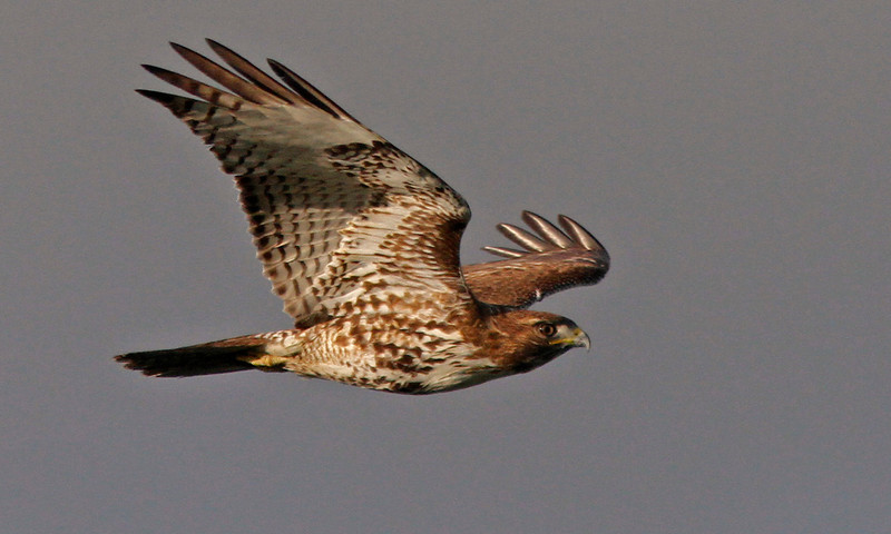 Broad-winged Hawk, Las Gallinas