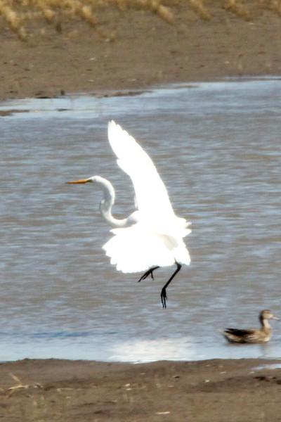 Great Egret @ Riverlands MBS [Cora Island Road]