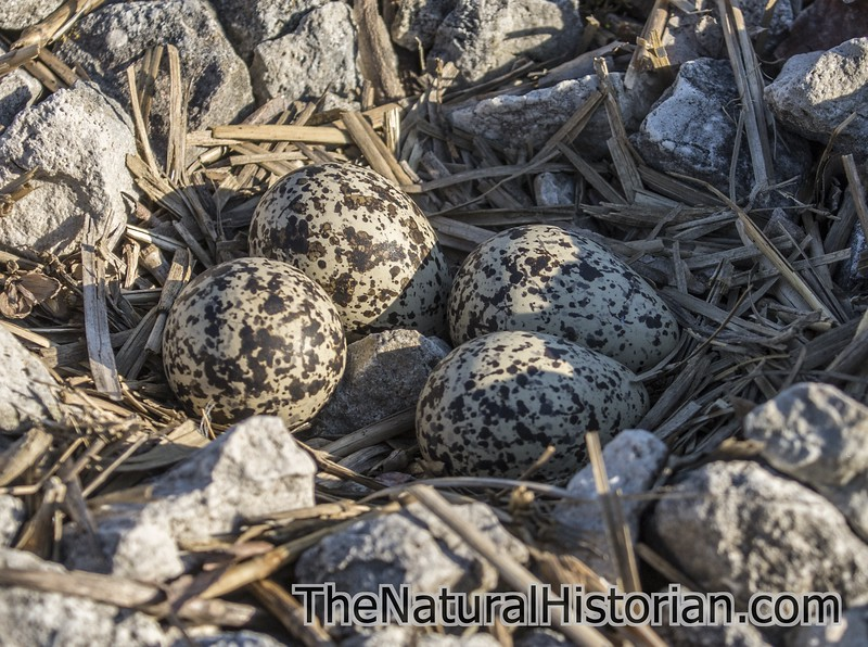 Killdeer-eggs-nest-railroad-tracks4-Canton.jpg