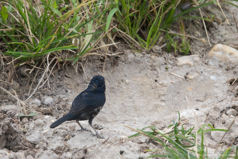 Blue-black Grassquit - Record - Aripo Agricultural Station, Trinidad