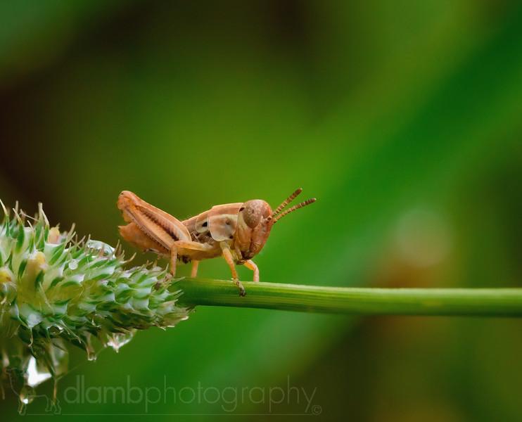 Grasshopper Nymph on Green Stem