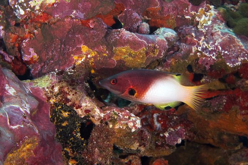 Axilspot Hogfish.jpg