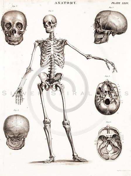 Vintage Medical Medicine Anatomy and Skeletons