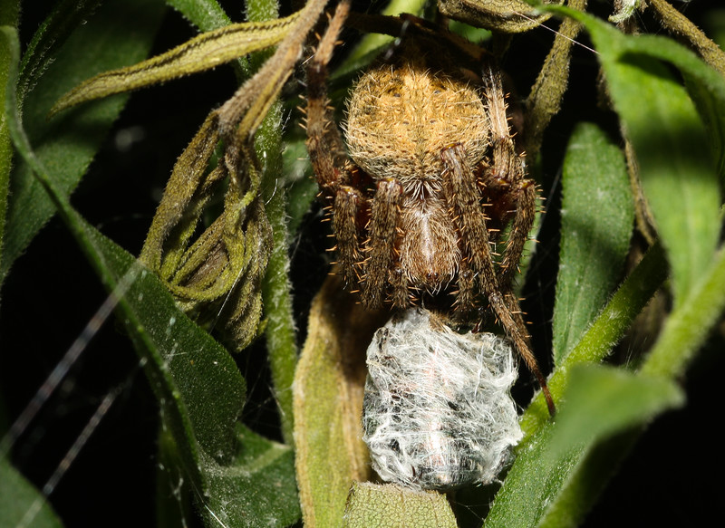 Spotted Orbweaver (Araneidae: genus Neoscona) with silk-wrapped prey.