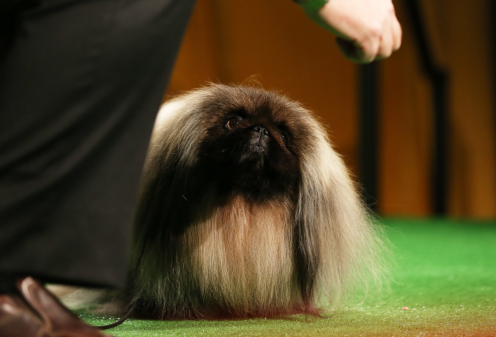 Description of . 2012 Best in Show winner Malachy, a Pekingese, stands at a press conference kicking off the 137th Annual Westminster Kennel Club Dog Show on February 7, 2013 in New York City. This year's event will feature two new breeds, Treeing Walker Coonhounds and Russell Terriers and will take place February 11 and 12.  (Photo by Mario Tama/Getty Images)