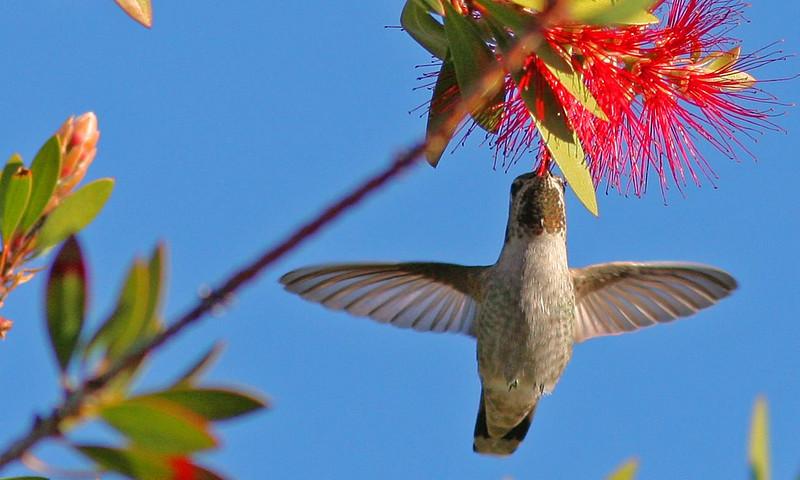 Anna's Hummingbird (Contempo Lagoon)