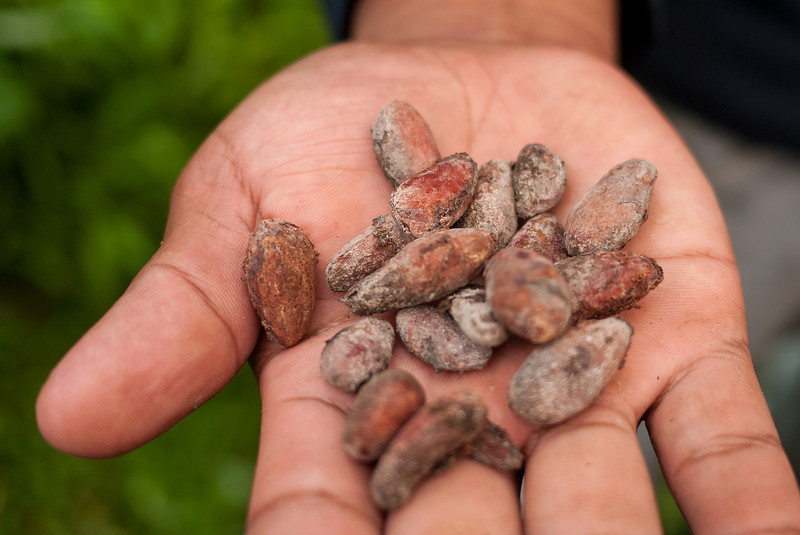 Dried cacao seeds.