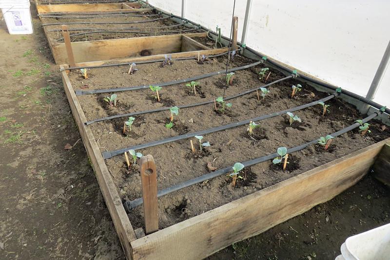 COLE-Seedlings-March-11th.jpg