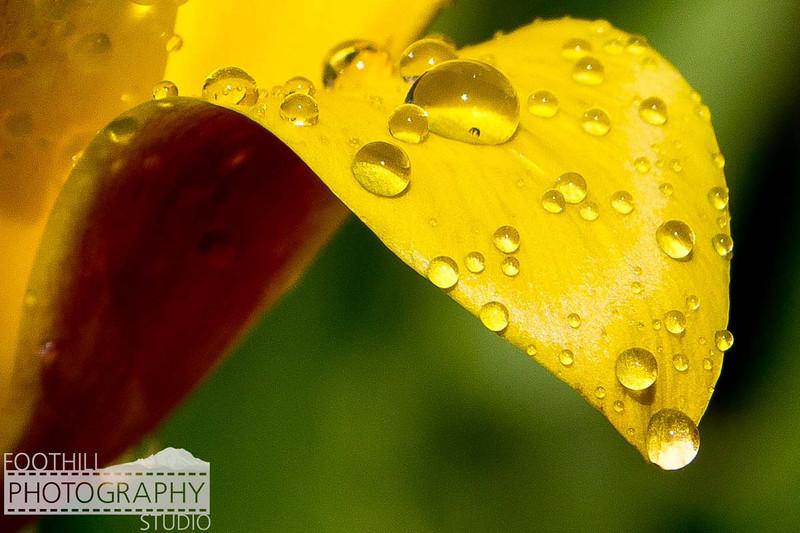 Yellow Tulip Sml-100.jpg