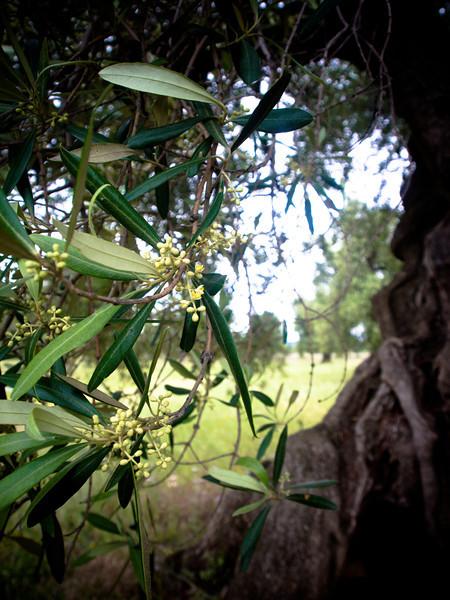 brindisi brancat olive trees 6.jpg