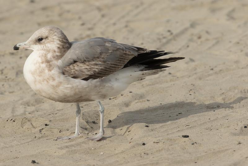 California  Gull Ponto Beach 2016 12 09-1.CR2