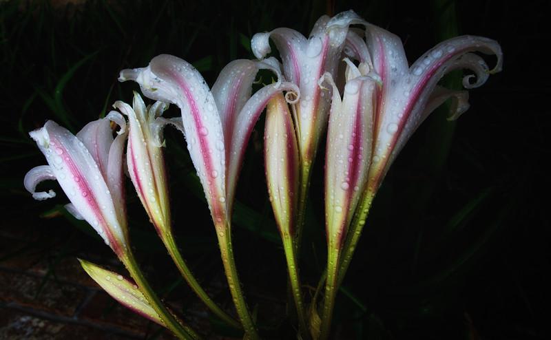 Lilies 91914--4.jpg