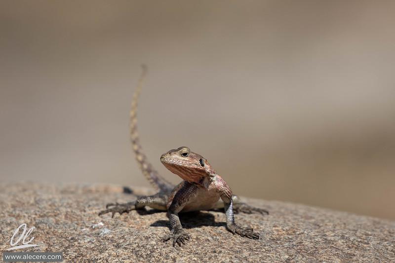 Agama lizard on a rock