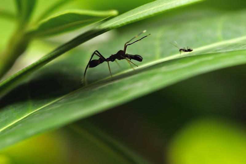 Stand-off-ant-and-ant-mimic-spider.jpg