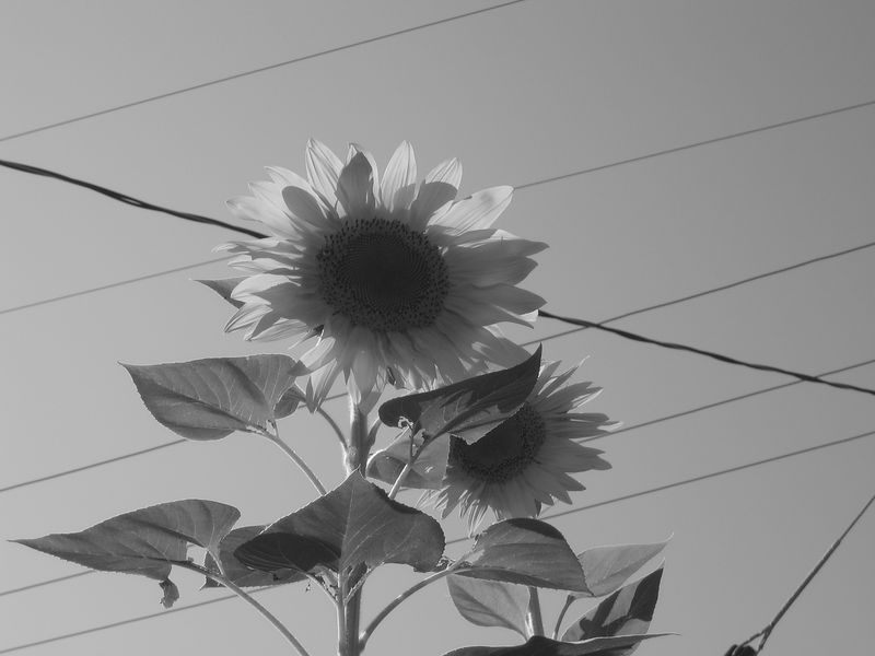 Sunflowers B&W.JPG