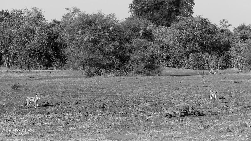 Black-backed Jackal & Nile Crocodile, b&w, Mashatu GR, Botwana, May 2017-3.jpg