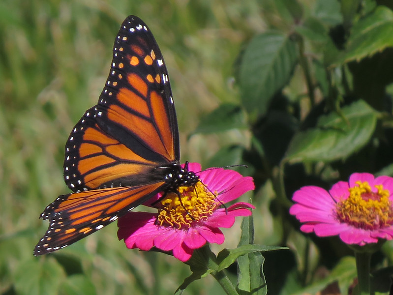 sx50_monarch_butterfly_flora_562.jpg